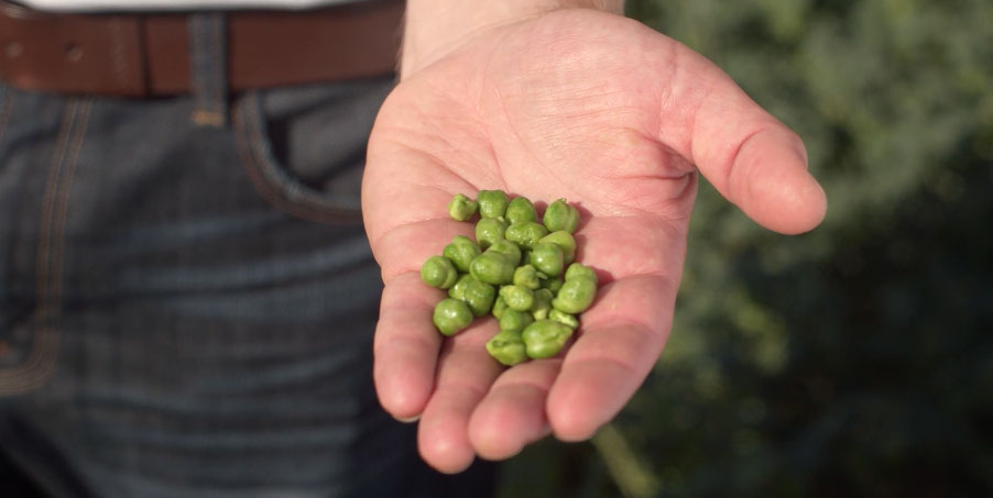 Fresh Green Chickpeas in Hand